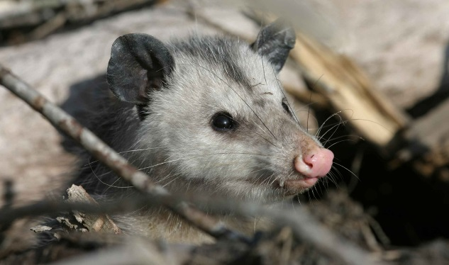 Image of nuisance opossum infestation