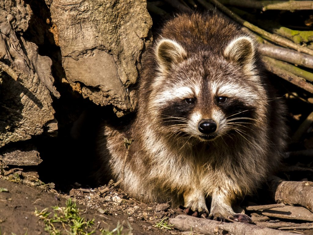 Photo of raccoon removed from attic