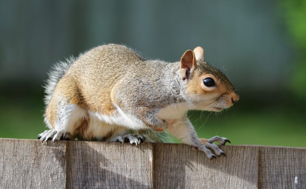 Image of squirrel climbing fence