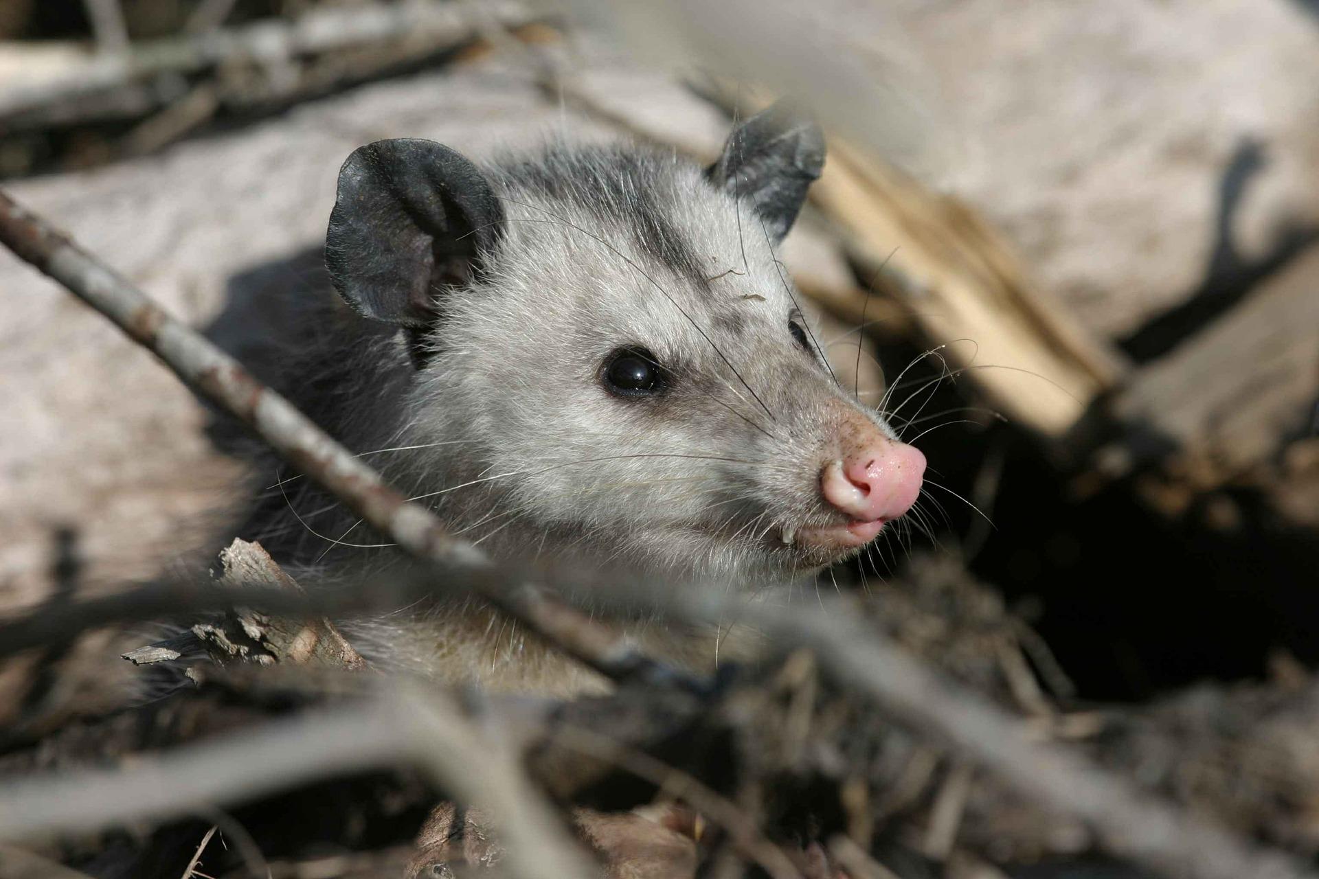 Picture of wild opossum