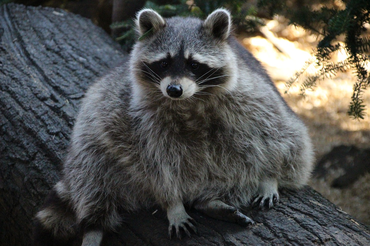 Image of raccoon in backyard