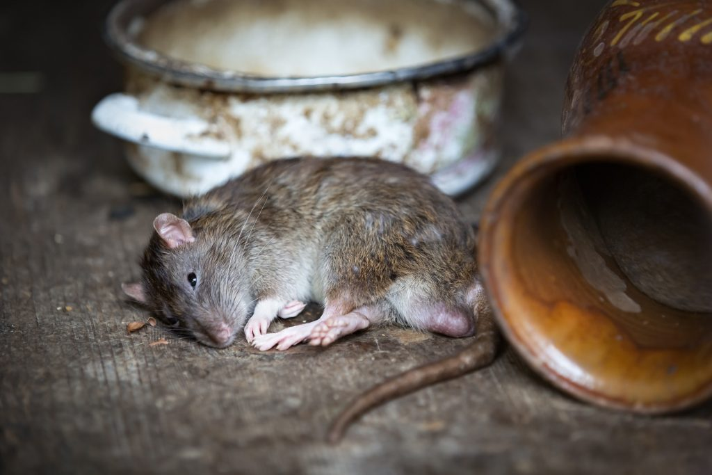 Picture of dead rat