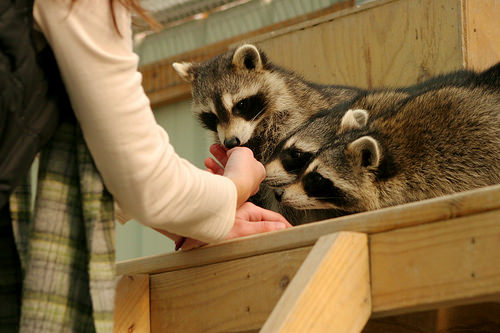picture of human interacting with raccoons