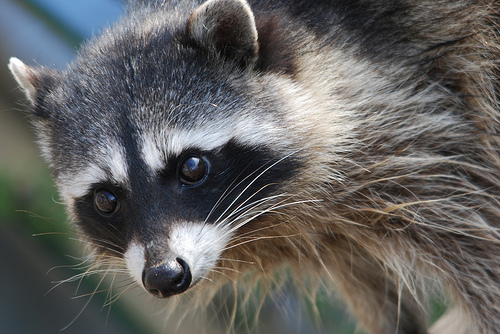 picture of gray raccoon