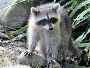 Image of raccoon in backyard