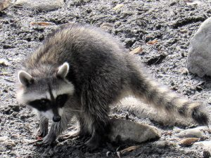 Picture of nuisance raccoon in Hill Country Village