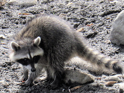Picture of nuisance raccoon in San Antonio