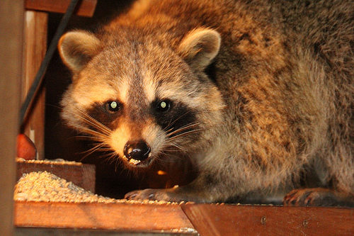 Photo of a raccoon that has invaded a attic