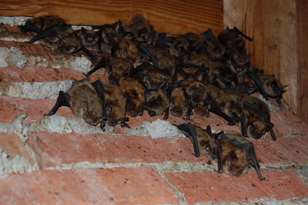 Image of bats roosting on attic walls