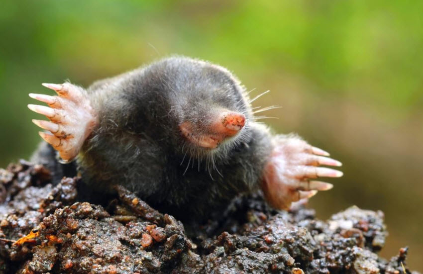 Picture of mole destroying lawn