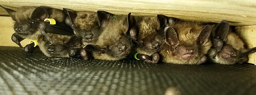 Picture of bats colony in an attic