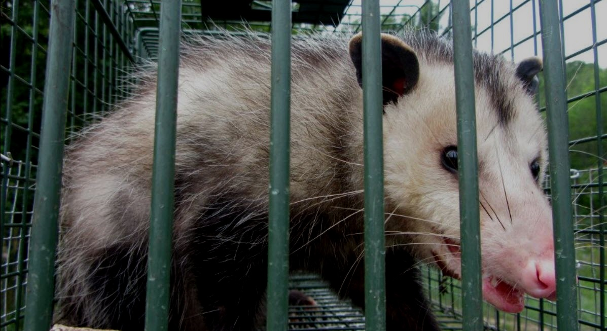 Picture of opossum trapped in humane cage