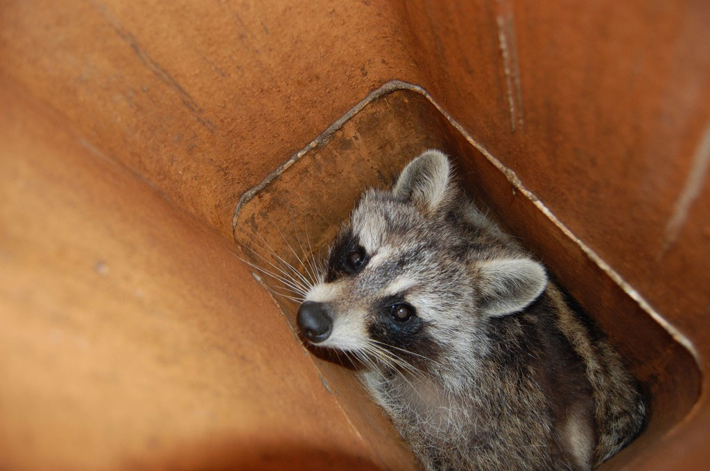 Image of raccoon in chimney