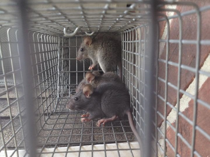 Image of roof rats captured in live trap