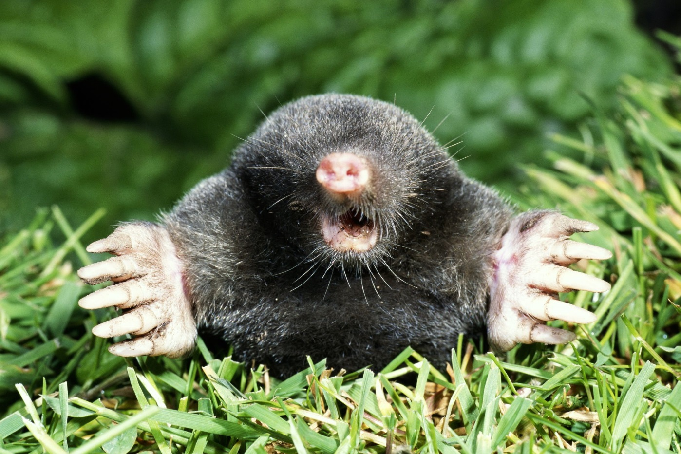 Image of a mole commonly found around homes