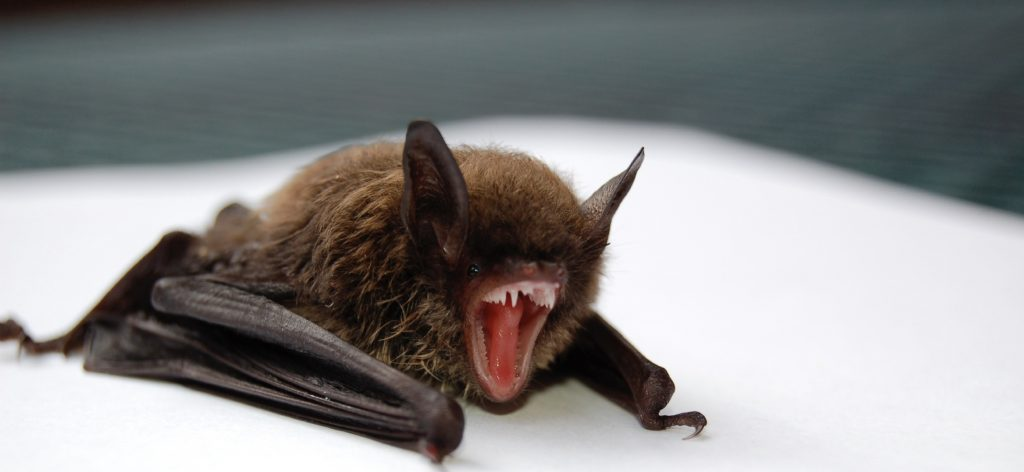 Image of little brown bat removed from attic