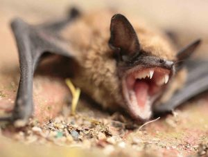 Photo of a bat infected with histoplasmosis