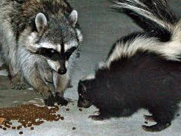 picture of raccoon in Humble