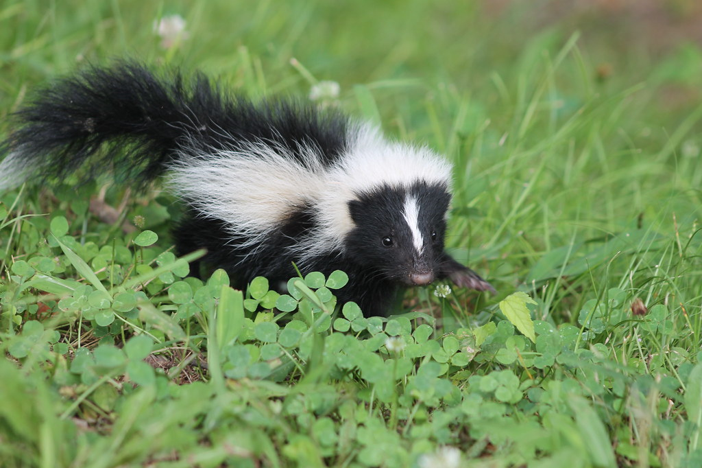 Image of baby skunk searching for food