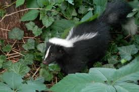 image of skunk wildlife in Bastrop