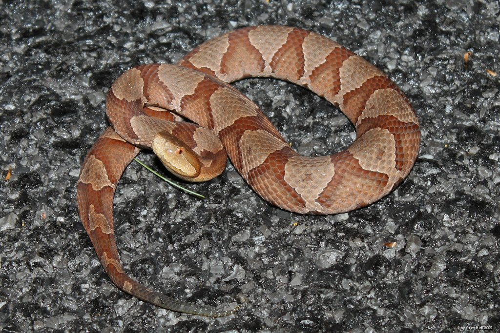 image of copperhead snake in {flood} Texas