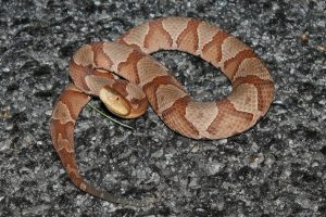 image of copperhead snake in Cross Roads Texas