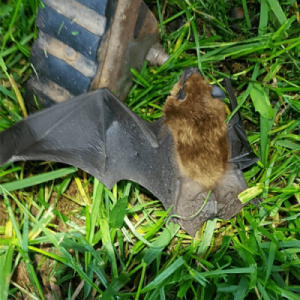 bat excluded from attic
