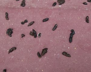 picture of bat guano (bat droppings)