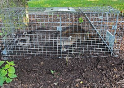 image of raccoon humane trap
