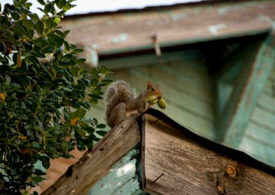 Image of squirrel climbing roof