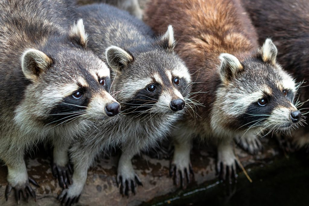 Image of a family of raccoons
