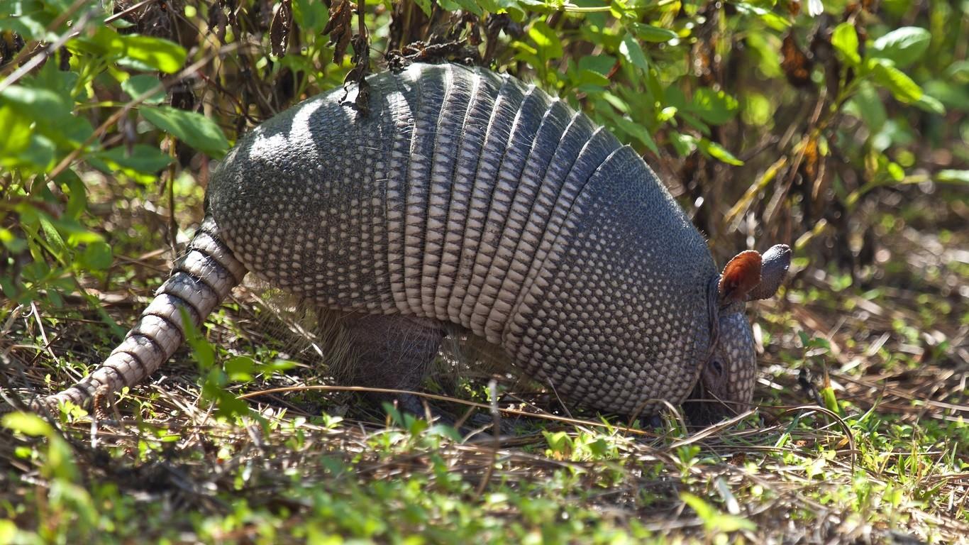 Image of an armadillo burrowing