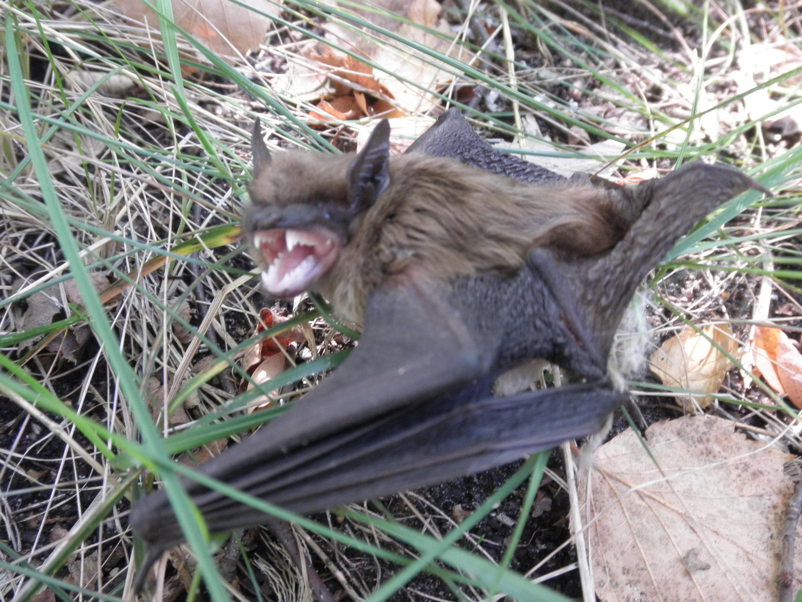 Photograph of big brown bat showing it's teeth