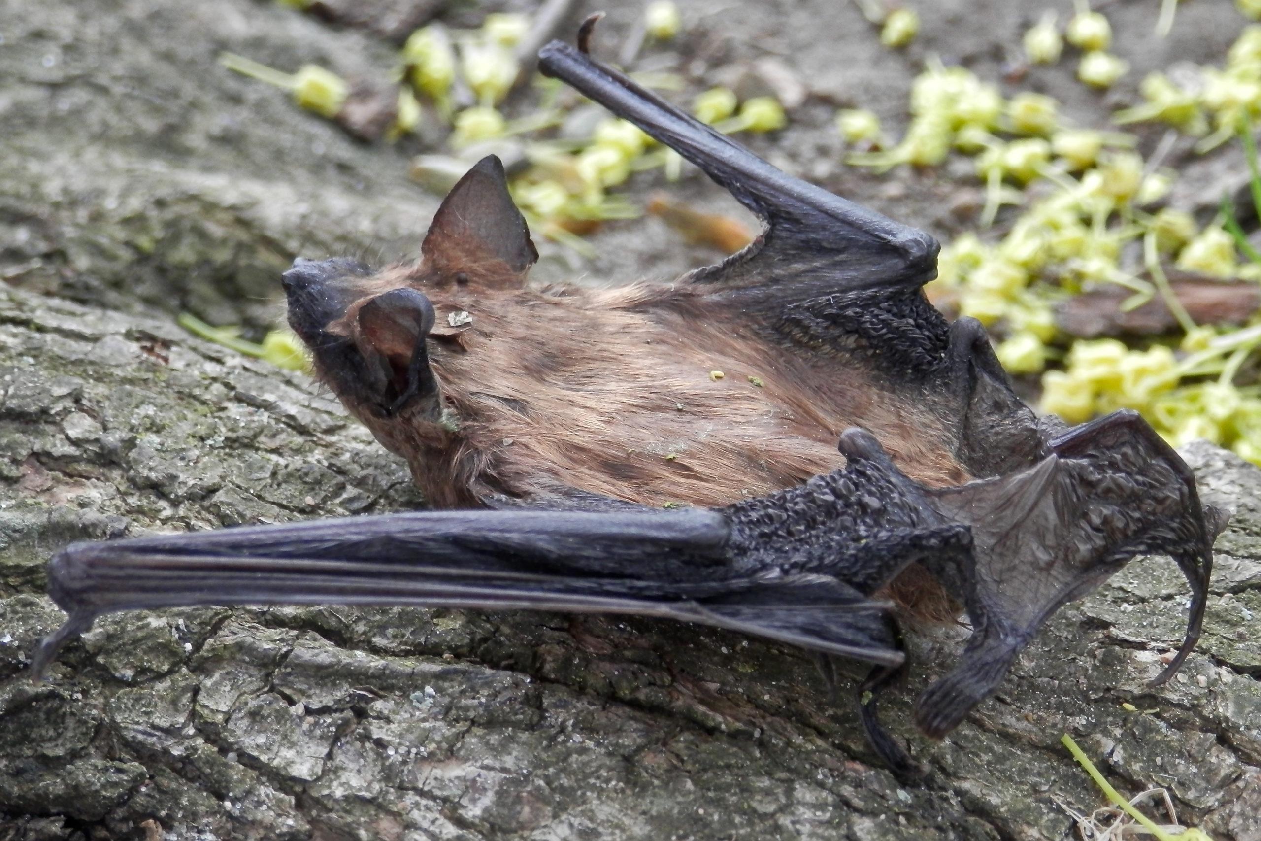 Image of big brown bat roosting on a tree