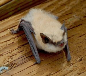 Picture of a canyon bat