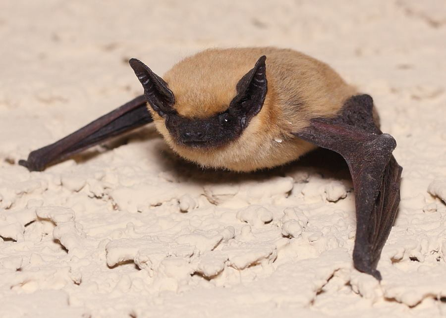Image of a canyon bat in the united states