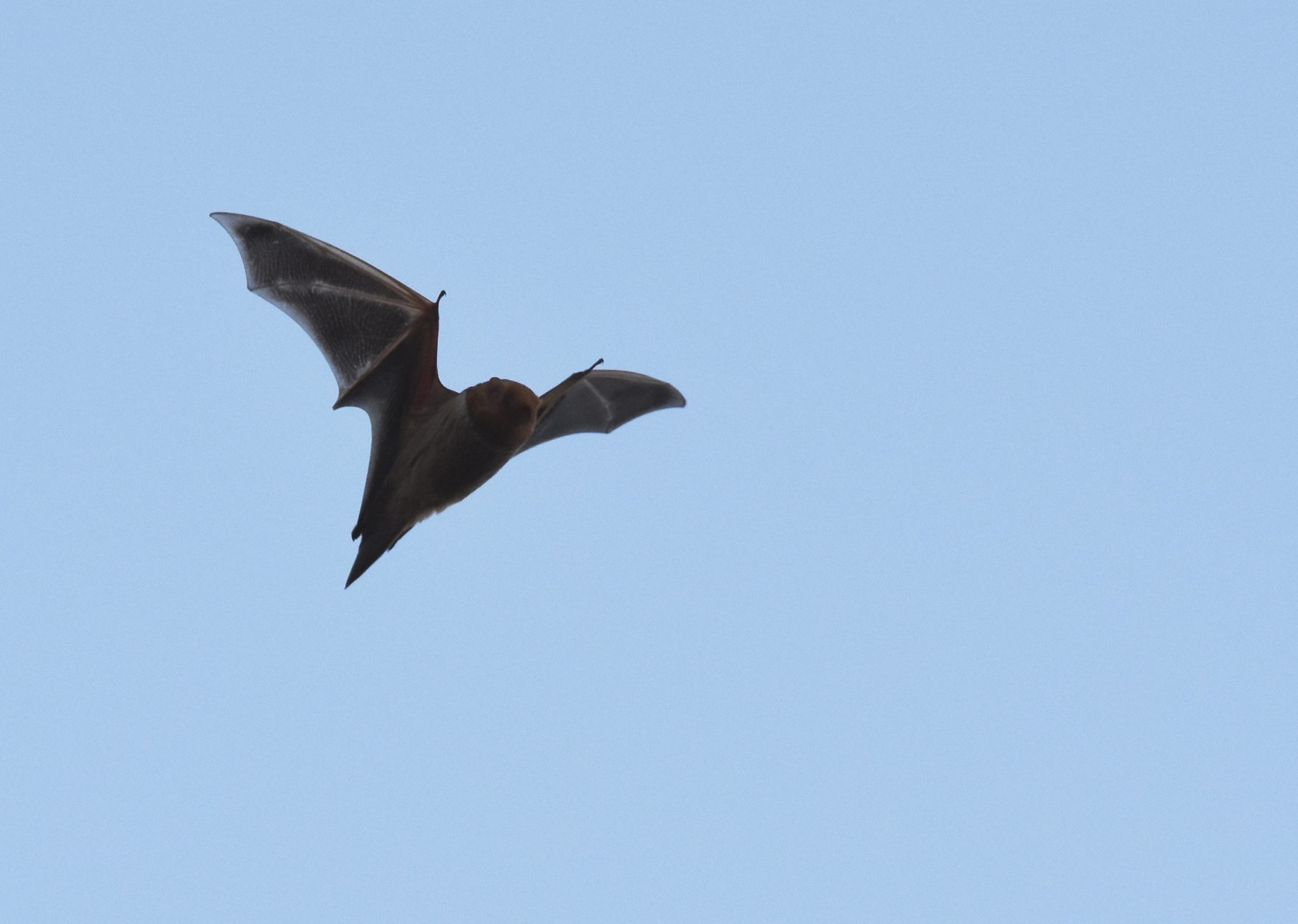 Image of an eastern red bat in flight