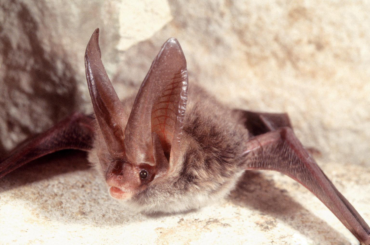 Image of Rafinesque's Big-eared Bat