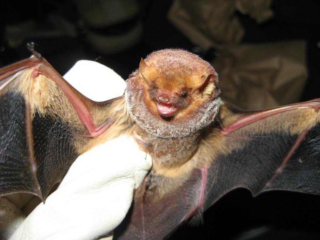 image of a captured seminole bat