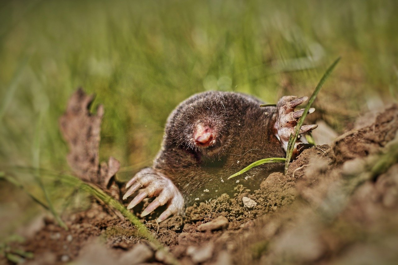 Picture of a mole burrowing in a garden