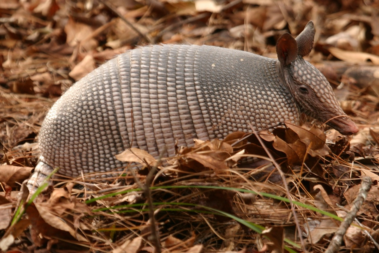 Photo of armadillo in the wild