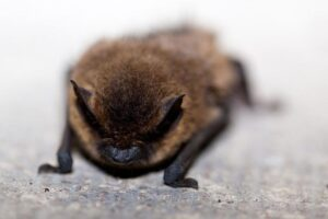 Image of a big brown bat found in the attic