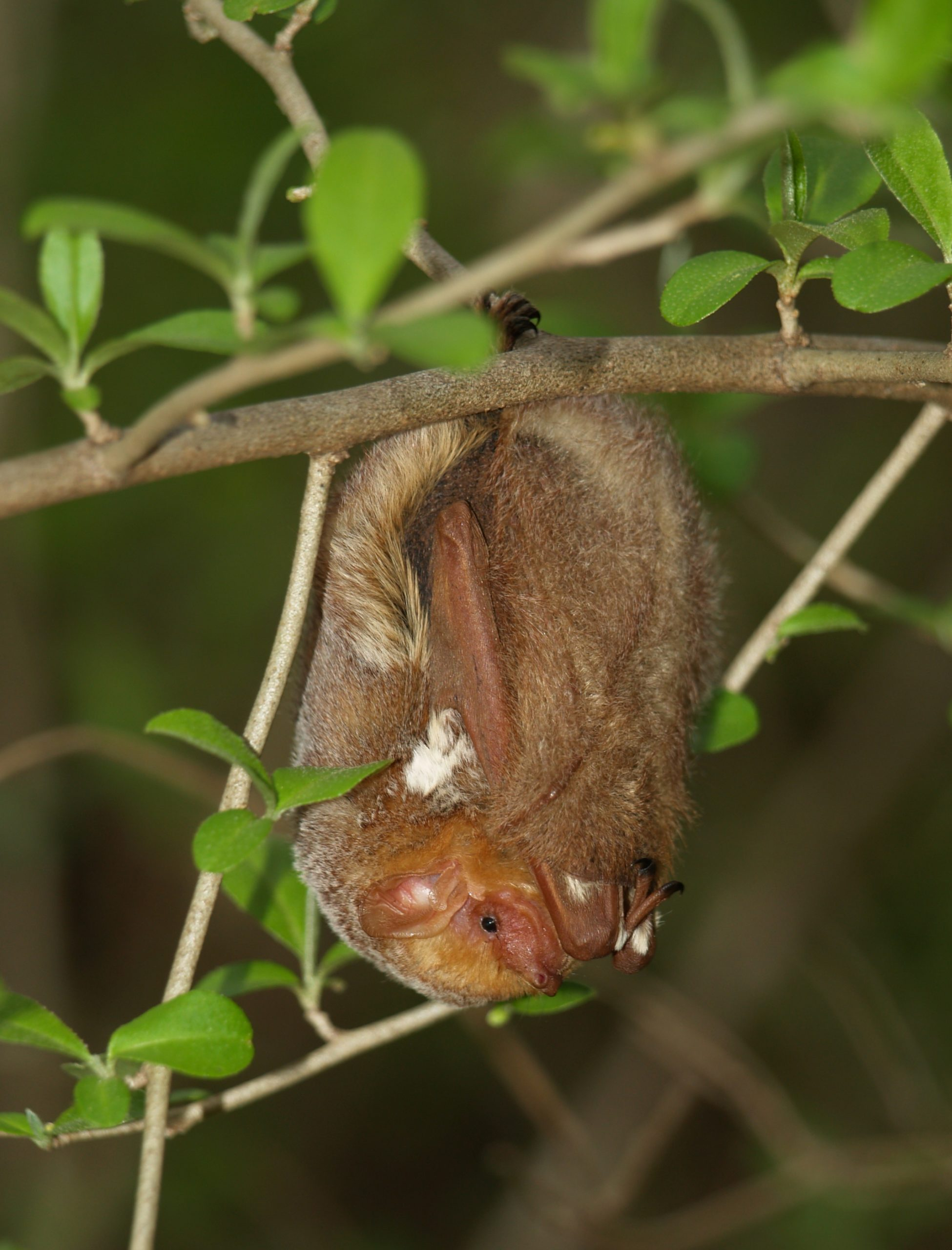 Photo of a roosting eastern red bat