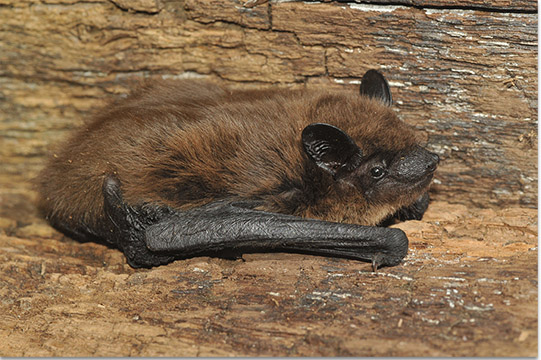 Photo of evening bat found in an attic