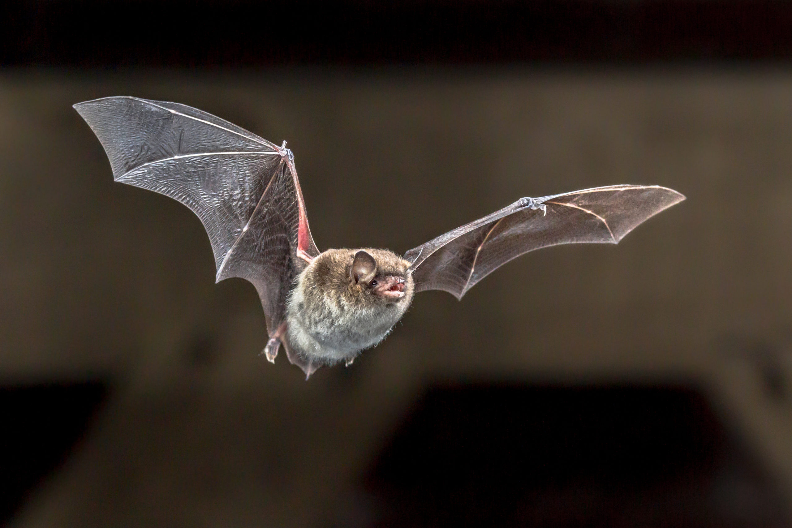 Image of a bat in the attic flying