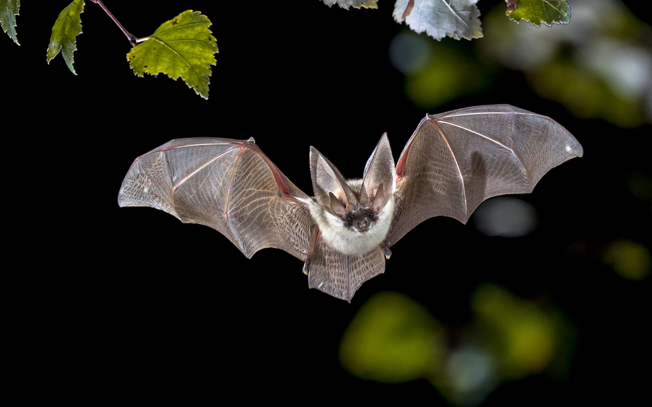Image of Townsend Big eared bat in forest