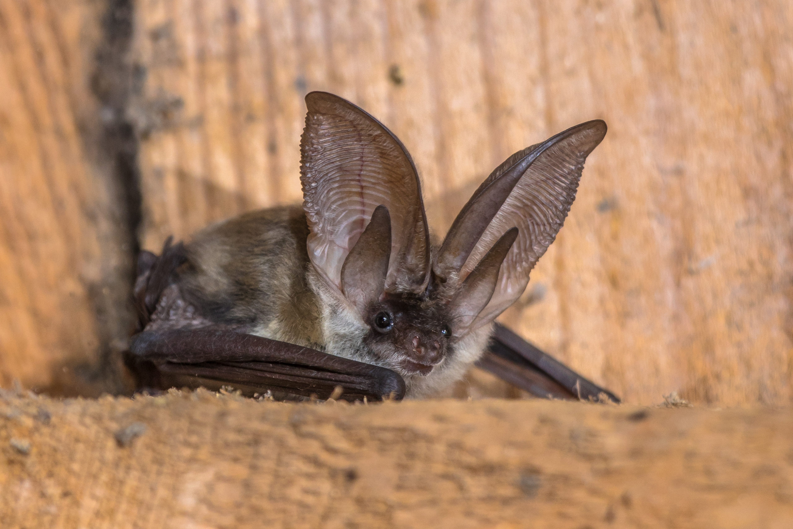 Photo of Townsends big eared bat resting