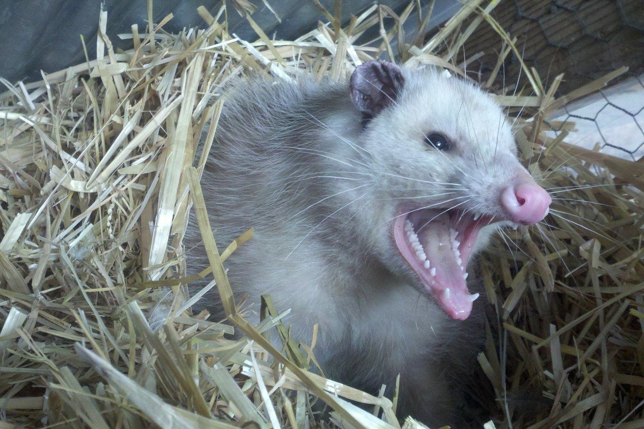 Image of opossum that has infested a home