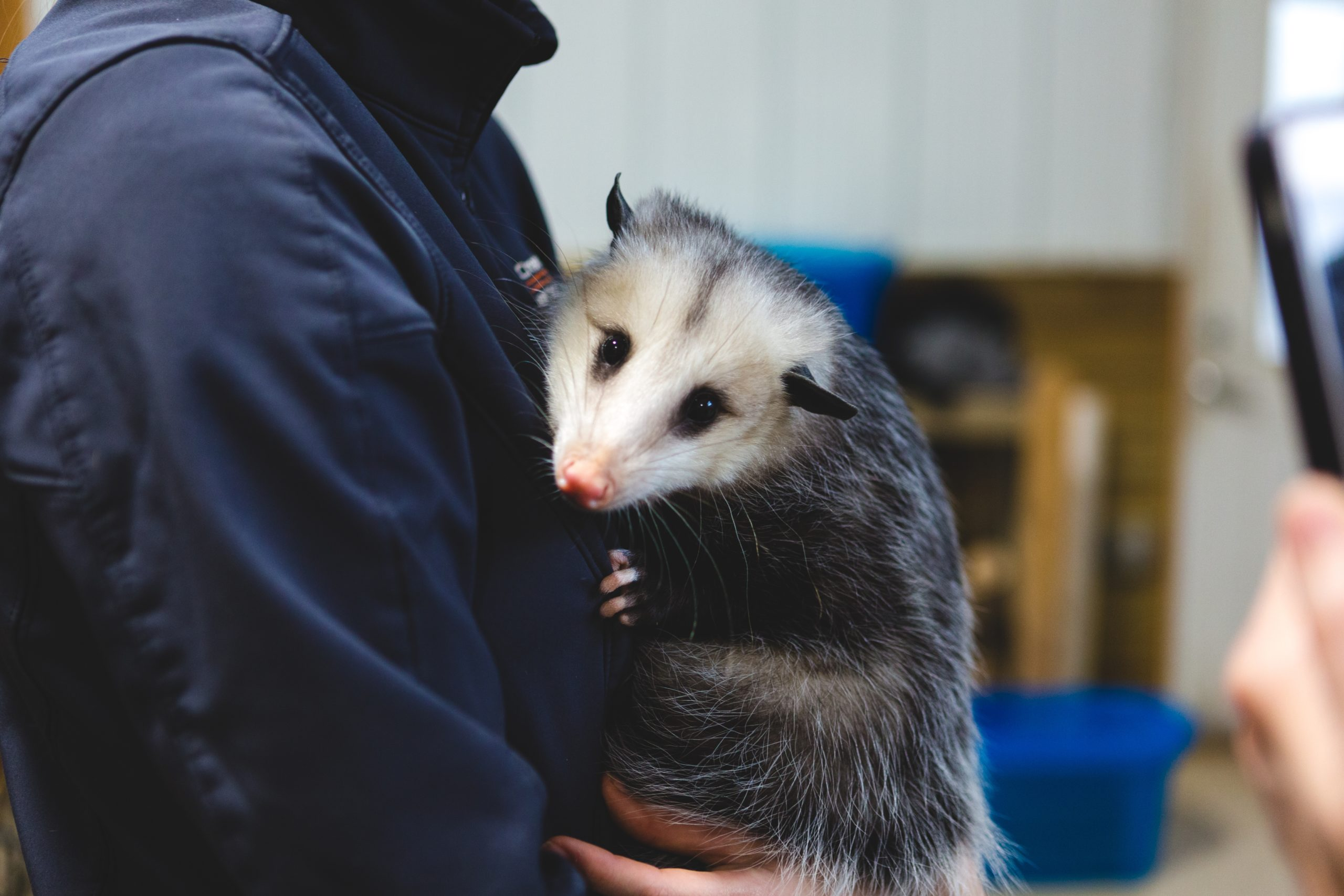 Photo of a wildlife removal pro relocating an opossum