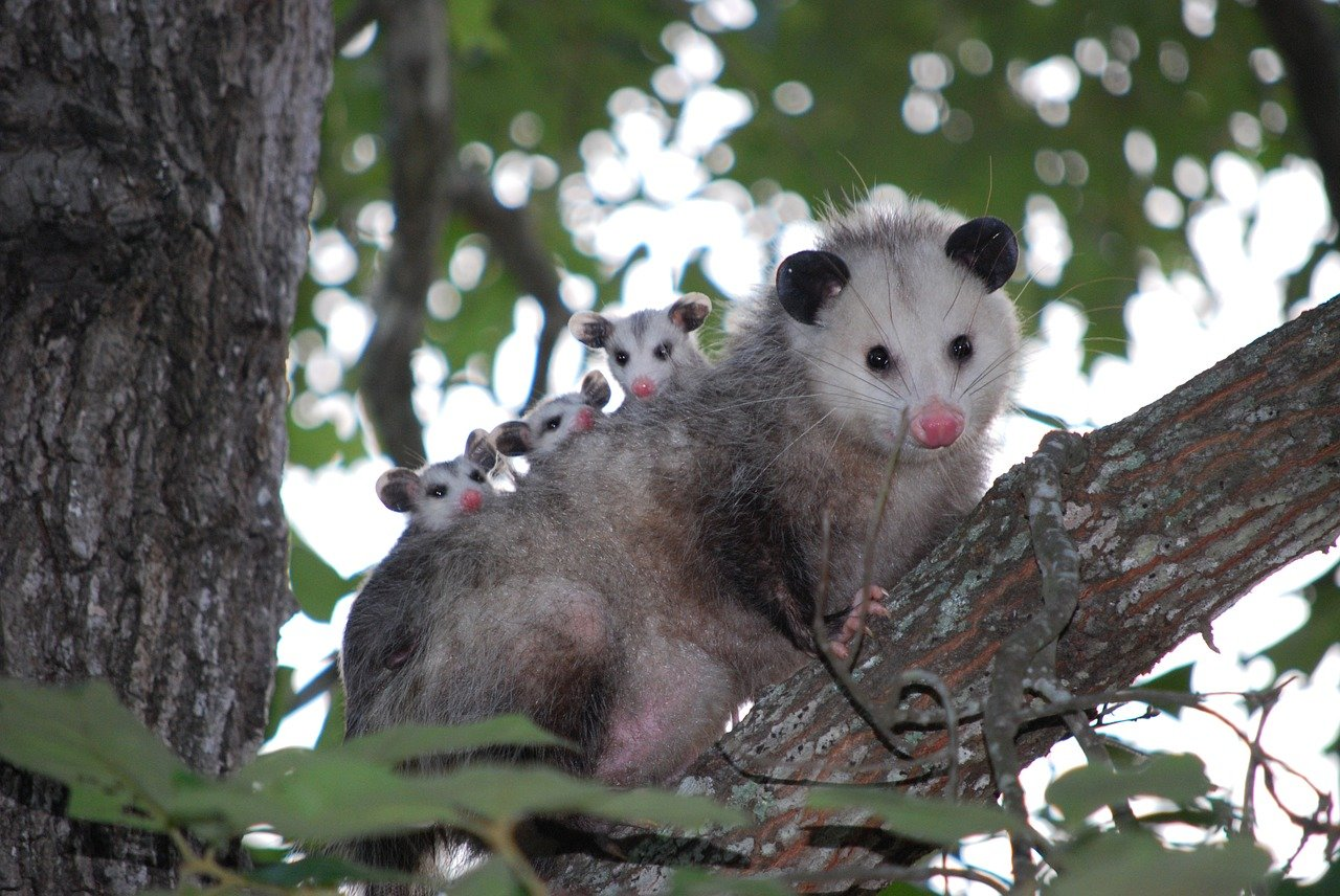 Photo of a family of opossums